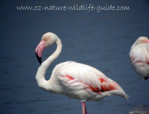 greater_flamingo