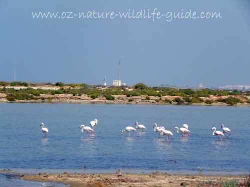greater_flamingo