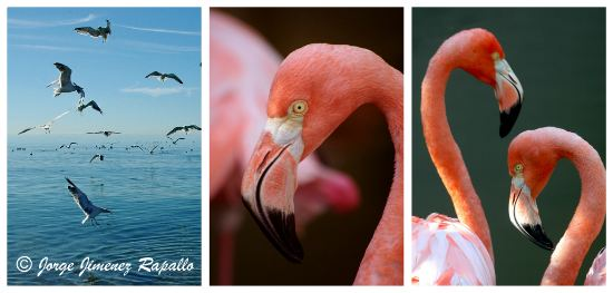 Greater Flamingos and Gulls