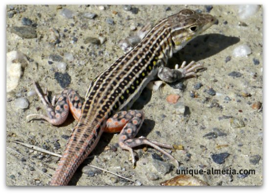 Red-tailed spiny footed Lizard
