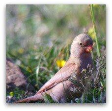 Trumpeter-Finch